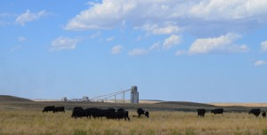 A herd of contented black angus enjoy their grazing experience on reclaimed mine land.