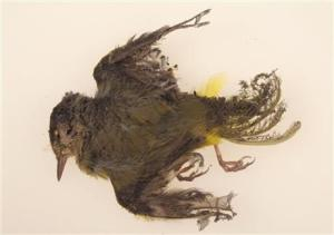 Source: AP & USWS - A MacGilivray's Warbler fatally burned at the Ivanpah Solar Plant in October 2013